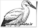 نقاشی سیاه و سفید پرنده لک لک
