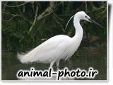 عکس لکلک سفید رنگ