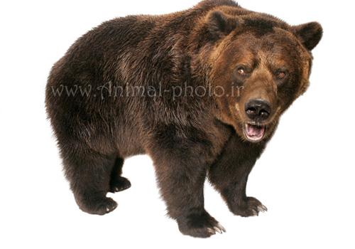 گالری عکس خرس ها