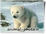 بچه خرس قطبی