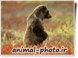 خرس ایستاده عصبانی