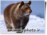 خرس گریزلی سیاه