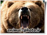 نعره خرس