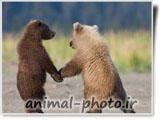 عکس عاشقانه حیوانات - خرس