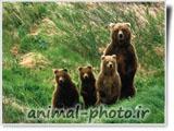 خانواده خرس ها