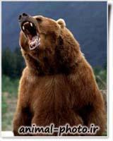 bear khers