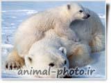 خرس قطبی سفید