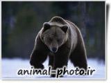 والپیپر زیبای خرس ها ی قریزلی
