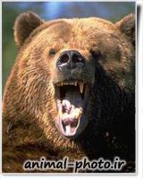 خرس وحشی در طبیعت