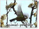 پرنده بلبل در حال پرواز