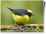 عکس پرنده گان - بلبل