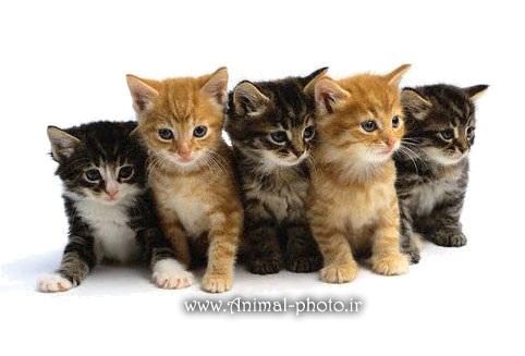 گالری عکس بچه گربه