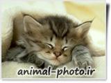 والپیپر زیبا از بچه گربه های ایرانی