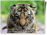 عکس بچه ببر بنگال