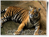 bengal tiger photo gallery