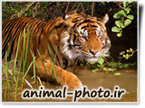tiger photo site