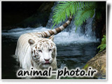 white tiger into water