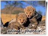 عکس با کیفیت بالا از بچه های یوزپلنگ افریقایی