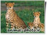 عکس خانوادگی حیوانات -یوزپلنگ آفریقایی