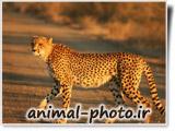یوزپلنگ افریقایی