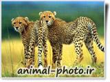 یوزپلنگ ایرانی - آسیایی