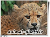 cheetah baby cut beuatufull picture