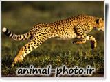 عکس سریعترین حیوان دنیا - یوزپلنگ