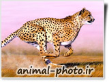 fastest animal photo chita
