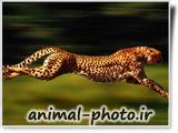 والپیپر زیبای حیوانات - یوزپلنگ