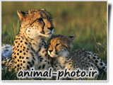 والپیپر حیوانات وحشی - یوزپلنگ