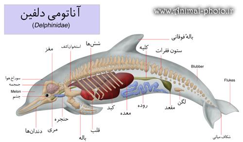 آناتومی و کالبد شکافی دلفین ها