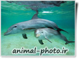 بازی دلفین ها در آب