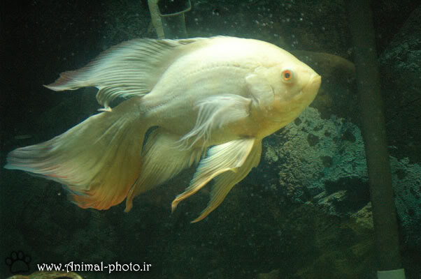 ماهی گوشت خوار اکورایوم