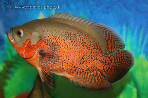 ماهی اسکار اکورایوم