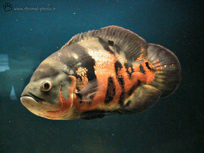 ماهی اسکار خوشگل و زیبا