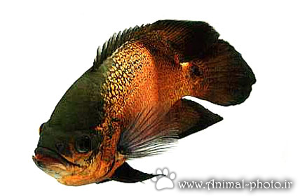گالری عکس ماهی اسکار