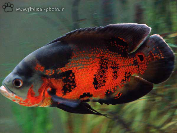 oscar fish photo gallery