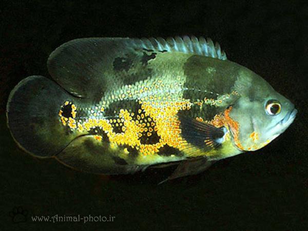 ماهی آکورایومی زیبا - اسکار