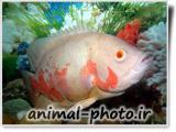 عکس ماهی اسکار سفید