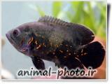 عکس ماهی اسکار ببری
