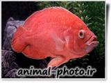 عکس ماهی اسکار قرمز