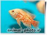 عکس بچه ماهی اسکار