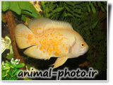 ماهی اسکار سفید رنگ