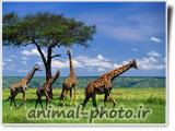 گالری عکس حیوانات افریقا - زرافه