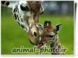 giraffe baby picture