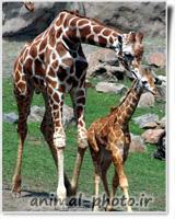 giraffes photo image gallery