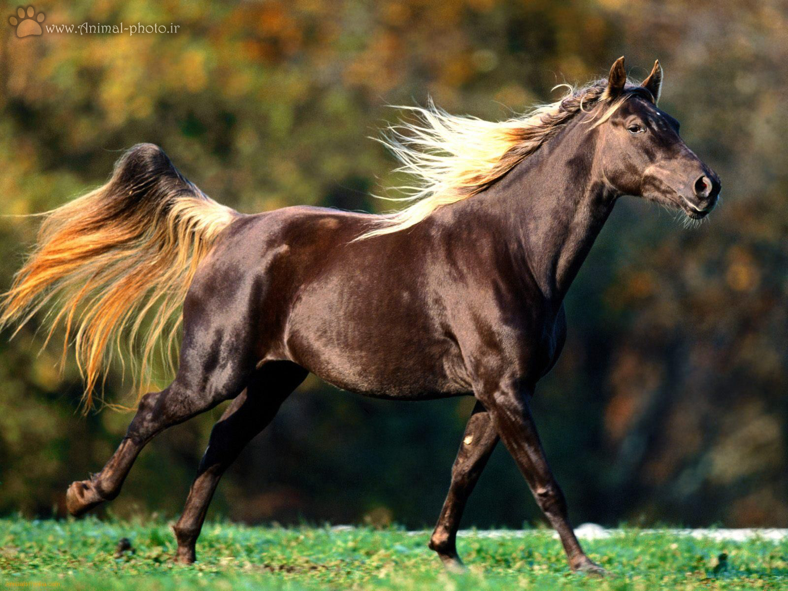 dark brown horse wallpaper