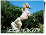 اسب سفید رنگ ایرانی