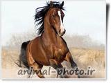 عکس اسب عرب کهر
