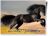 اسب مشکی خوشگل درحال دویدن